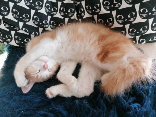 Kissa nukkuu
