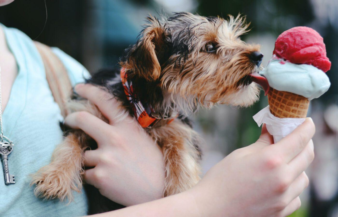 Kuvassa pieni koira on ihmisen sylissä ja nuolee ihmisen kädessä olevaa jäätelötötteröä.